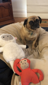 10 facts about me - image of my pugalier Tilly